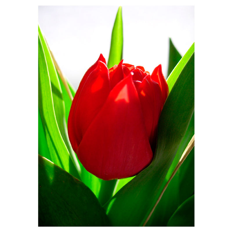 Poster Decorativo Tulipa Vermelha