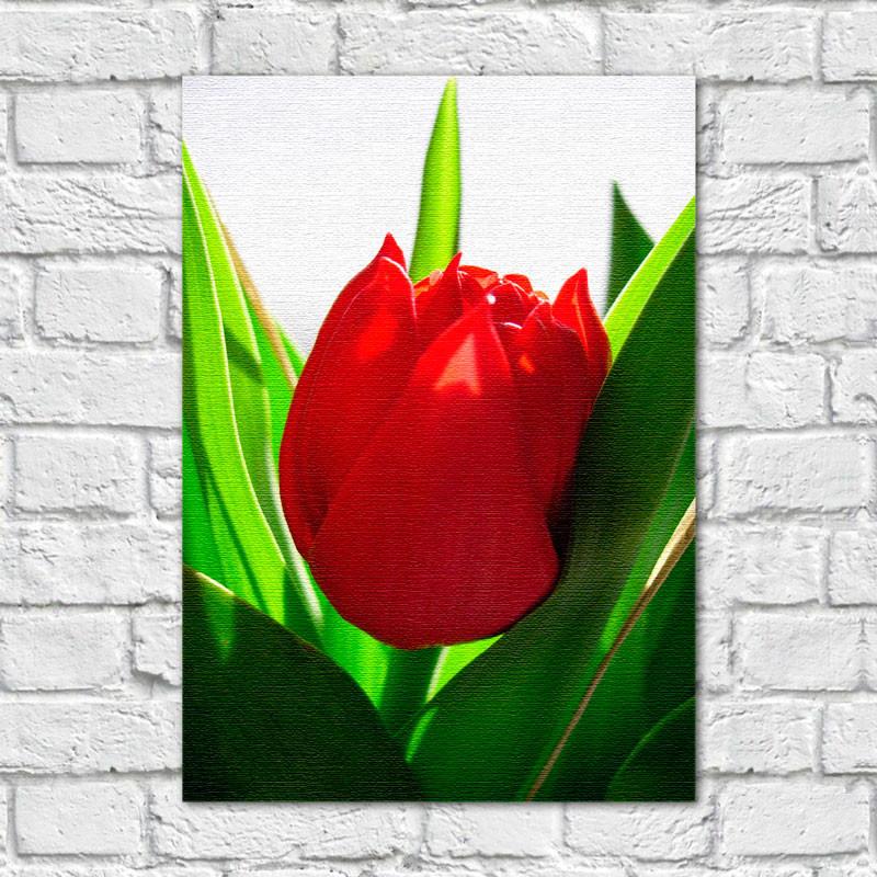 Quadro Decorativo Tulipa Vermelha - Em Canvas